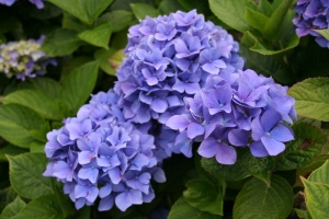 Cornish Hydrangeas