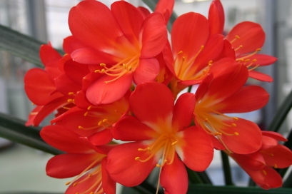Clivia flowering at our local garden centre