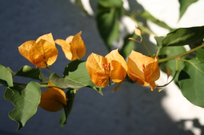 Bougainvillea grows both as a free-standing shrub or trained as a climber