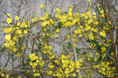 Winter flowering Jasmine on the boiler-house wall