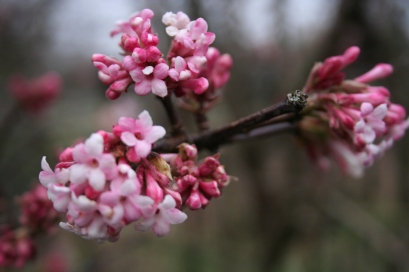 Viburnum x. bodnantense in flower today in central France