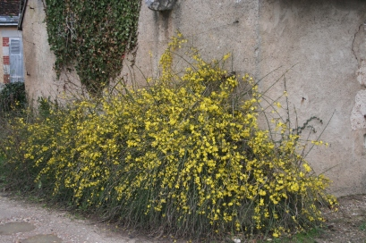A fine bush of Jasminium nudiflorum in a neighbour's garden
