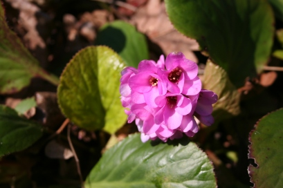 Bergenia in flower today in a neighbour's garden.