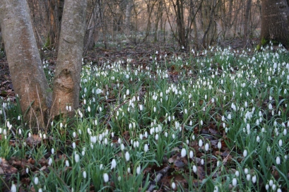 Snowdrops at Chabris Mill