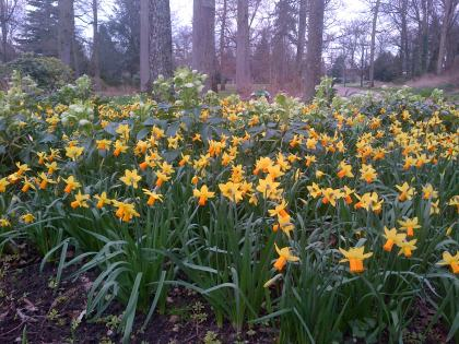 A carpet of Daffodils at La Source, Orleans.