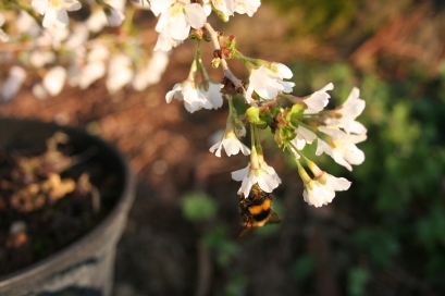 Prunus incisa 'Kojo-no-mai' attracting early Bumble Bees