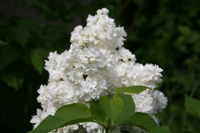 Our enlarged white border is doing very well this year - White Lilac is in flower at the moment